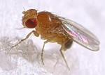 fruit_fly-400x289.jpg