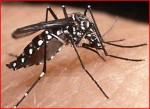 zanzara tigre.jpg